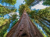 tallest trees of the world